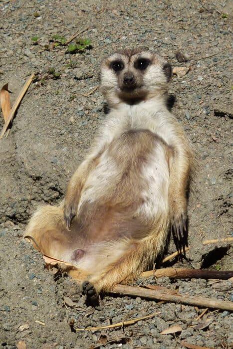 Animal Kingdom - Meerkat